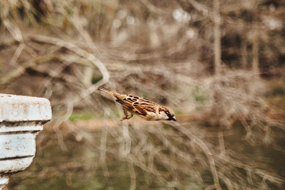 sparrow diving