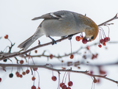 bird forages on winter berries